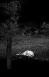 Fallow Deer. Black and white image of a sleeping fallow deer stock photos