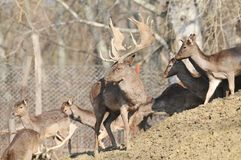 Fallow deer. Deer and deer in the woods Royalty Free Stock Photo