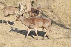 Fallow deer. Deer and deer in the woods Stock Image