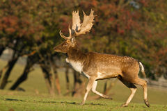 Fallow Deer. In the wilderness stock photography