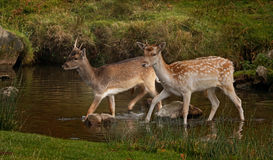 Fallow Deer. Two young male fallow deer crossing a stream. As depicted, there colouring can vary Stock Image