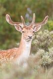 Fallow deer. A portrait of a fallow deer Royalty Free Stock Photography