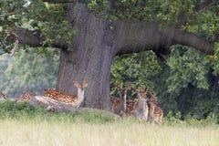 Fallow Deer. Taking cover under a tree in heavy rain stock photo