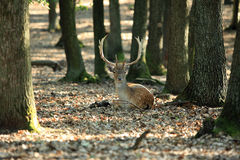 Fallow deer Stock Images