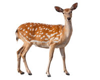 Fallow Deer. Graceful fallow deer isolated on white Royalty Free Stock Images