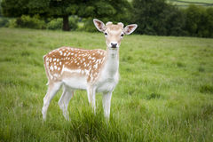 Fallow Deer. Young Fallow deer in a field in Somerset Royalty Free Stock Image