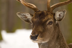 Fallow deer. Detail shot of the fallow deer stock photos