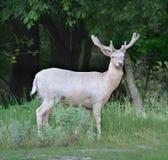 Fallow-deer. Russian nature, Voronezh area stock image