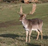 Fallow Deer. Close up photo of Fallow Deer (dama dama Royalty Free Stock Photo
