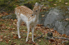 Fallow Deer. Lifting its head from grazing and looking for its mama stock photo