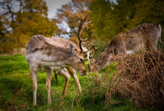 Fallow Deer. Two fallow deer, grazing in the autumn sunshine Royalty Free Stock Photography