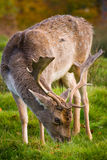 Fallow Deer. A fallow deer, grazing in the autumn sunshine Stock Images