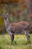 Fallow deer amongst Autumn trees Royalty Free Stock Photography