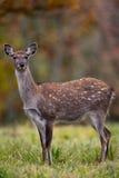 Fallow deer amongst Autumn trees. Female Fallow deer amongst Autumn trees Royalty Free Stock Photography