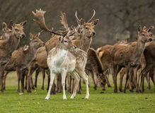 Fallow deer amongst red deer Royalty Free Stock Image