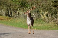 Fallow deer in Amsterdamse Waterduinen. In October in the Netherlands. Enjoy the morning sun Royalty Free Stock Photos