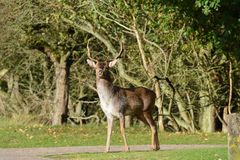 Fallow deer in Amsterdamse Waterduinen. In October in the Netherlands. Enjoy the morning sun Royalty Free Stock Photography