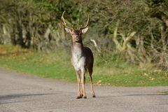 Fallow deer in Amsterdamse Waterduinen. In October in the Netherlands Stock Photography