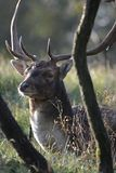 Fallow deer in Amsterdamse Waterduinen. In October in the Netherlands. Enjoy the morning sun stock photos