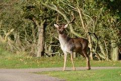 Fallow deer in Amsterdamse Waterduinen. In October in the Netherlands. Enjoy the morning sun Stock Photos