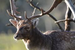 Fallow deer in Amsterdamse Waterduinen. In October in the Netherlands. Enjoy the morning sun Stock Photo