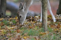 Fallow deer in Amsterdamse Waterduinen. In October in the Netherlands. fallow deer searching for food Stock Photo