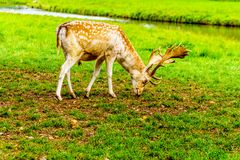 Fallow Deer with Antlers. In a green Meadow in a park in the Netherlands stock photo