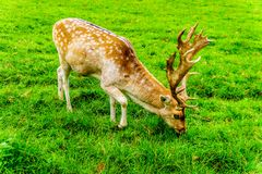 Fallow Deer with Antlers in a meadow stock images