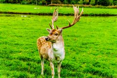 Fallow Deer with Antlers in a meadow stock photo