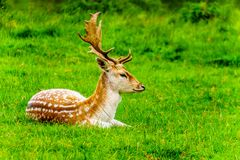 Fallow Deer with Antlers in a meadow stock image