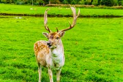 Fallow Deer with Antlers in a meadow. Fallow Deer with Antlers in a green Meadow in a park in the Netherlands royalty free stock images