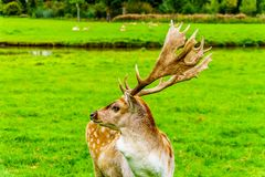 Fallow Deer with Antlers in a meadow. Fallow Deer with Antlers in a green Meadow in a park in the Netherlands stock photo