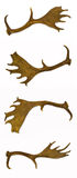 Fallow-deer antlers. Fallow-deer antlers, a rare trophy for any hunter Stock Photos