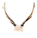 Fallow deer antlers Stock Photography
