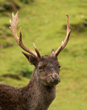 Fallow Deer Antliers. Fallow deer with it's wonderful antlers Stock Images