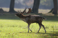 Fallow deer in Autumn Stock Photos