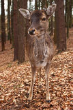 Fallow deer. In an autumn forest royalty free stock photography