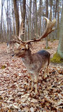 Fallow deer. In autumn forest royalty free stock photography