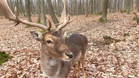 Fallow deer. In autumn forest stock image