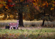 Fallow Deer in Autumn Setting royalty free stock image