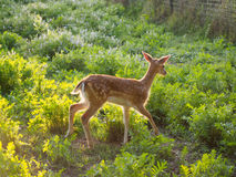 Fallow deer baby Royalty Free Stock Images