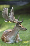 Fallow Deer with Big Antler. Fallow Deer shot in Denmark stock photography
