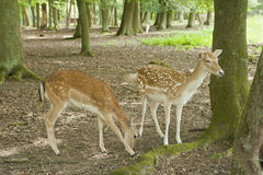 Fallow deer in Black Forest, Germany Stock Photography