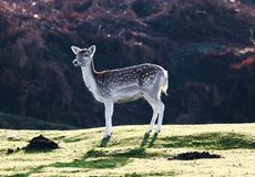 Fallow Deer Royalty Free Stock Photos