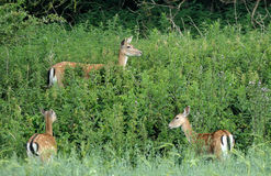 Fallow deer in brush. A group of Fallow deer in the green brush Stock Images