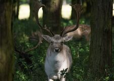 Fallow deer buck with big antlers standing in the woods