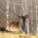 Fallow deer buck with broken antler Stock Photos