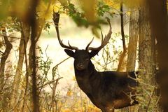 Fallow deer buck closeup in the wild Stock Photography
