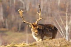Fallow deer buck Stock Image