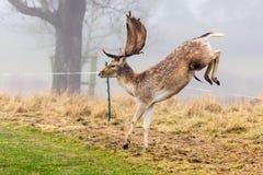Fallow Deer Buck - Dama dama clearing an electric fence. An impressive Fallow Deer Buck, Dama dama, clearing       an electric fence surrounding a sheep Stock Photo